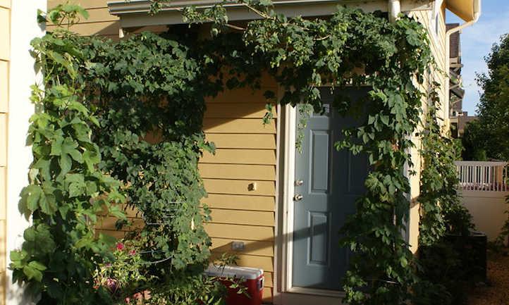 Hops as an arbor vine