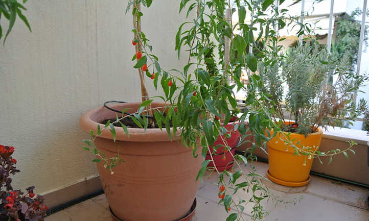 Young goji plant