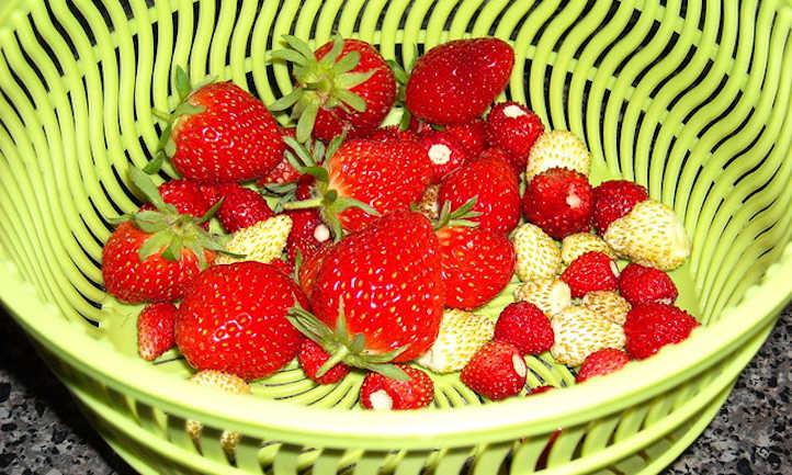 Alpine and regular strawberries