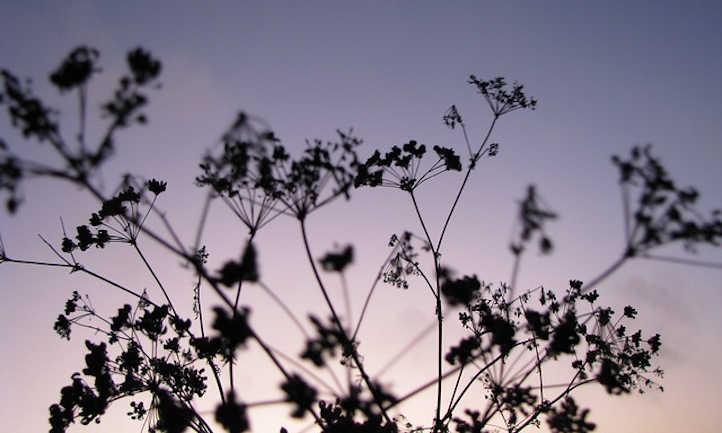 Anise plant