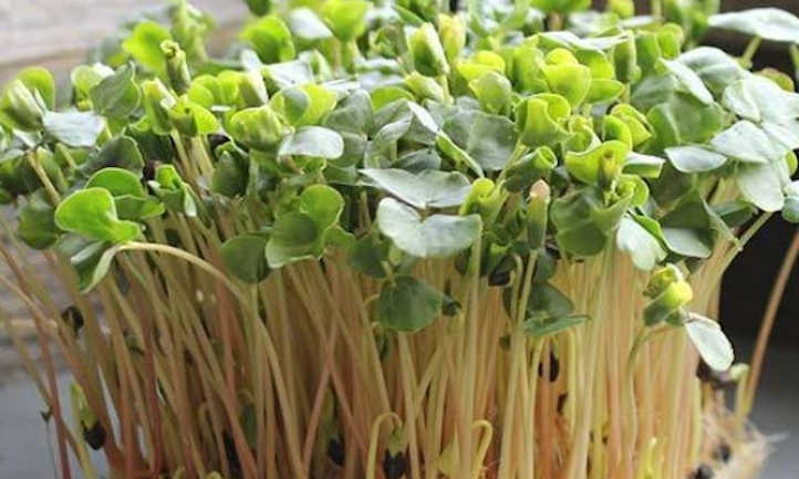 Buckwheat microgreens
