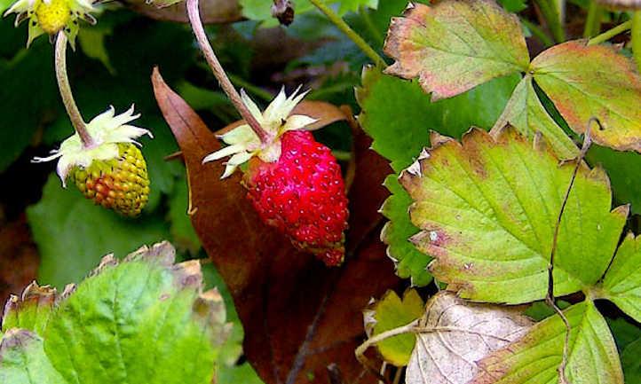 Bumpy alpine strawberry
