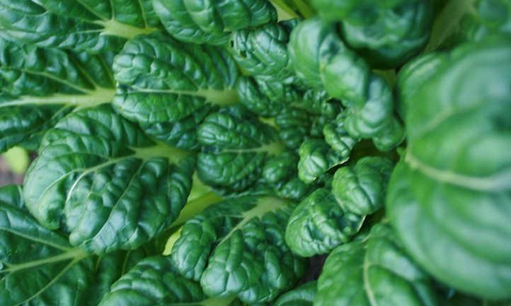 Closeup of center of tatsoi rosette