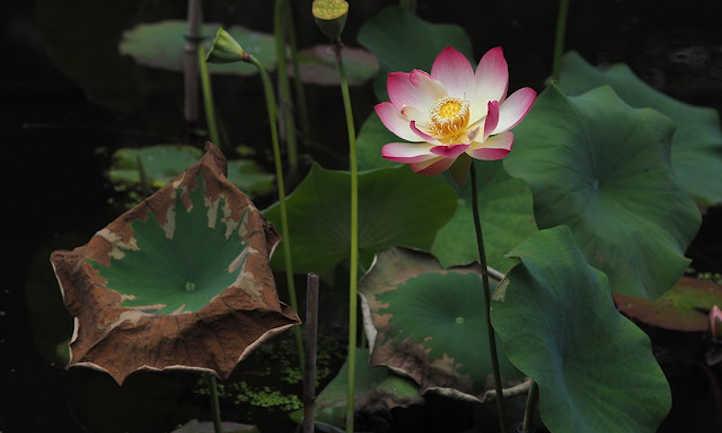 Fusarium incarnatum on Nelumbo nucifera