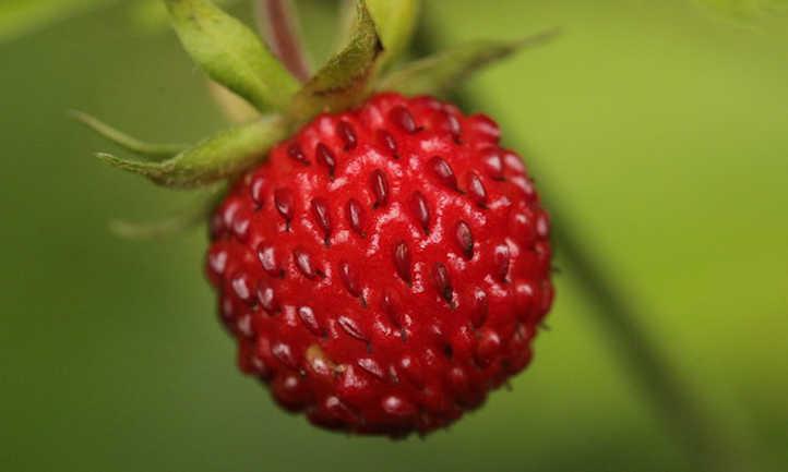 Growing alpine strawberries