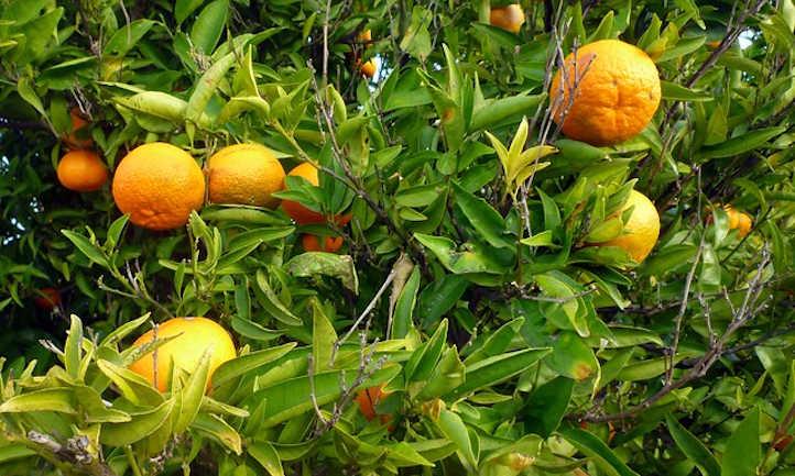 Mandarin tree in need of pruning