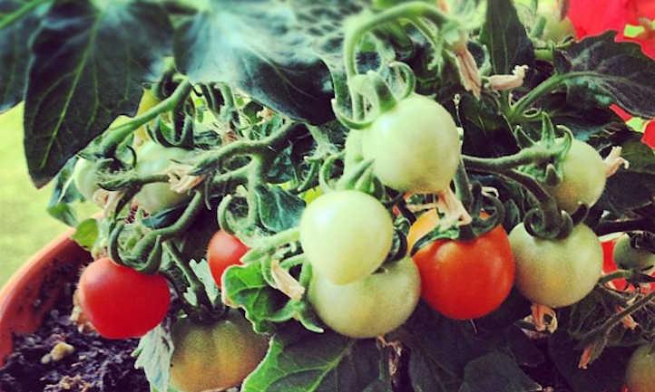 Micro Tom tomatoes