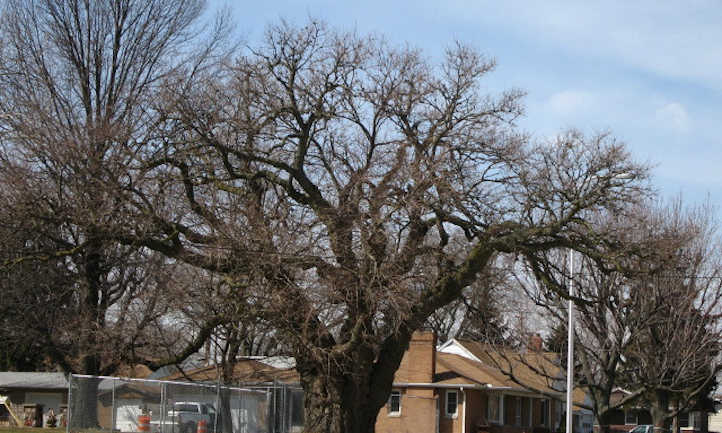Mulberry tree in winter