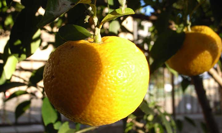 Nearly ripe mandarin