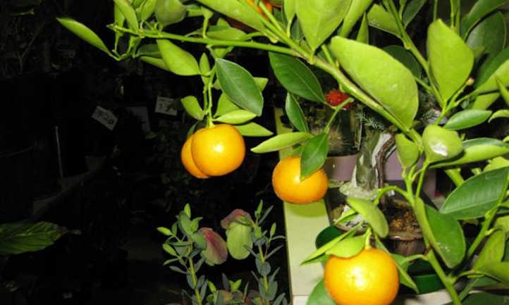 Overloaded mandarin sapling
