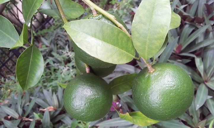 Unripe mandarins