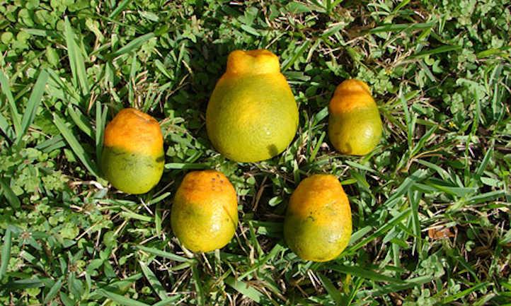 Damage caused by citrus greening