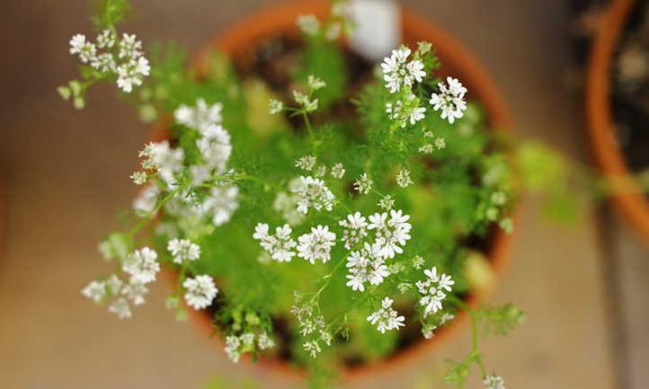 Growing cilantro indoors