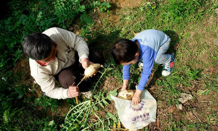 Harvesting daikon radish