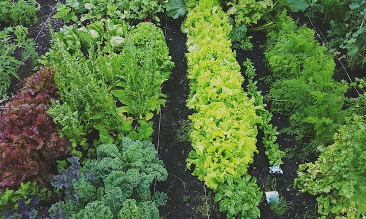 Lettuce companion plants