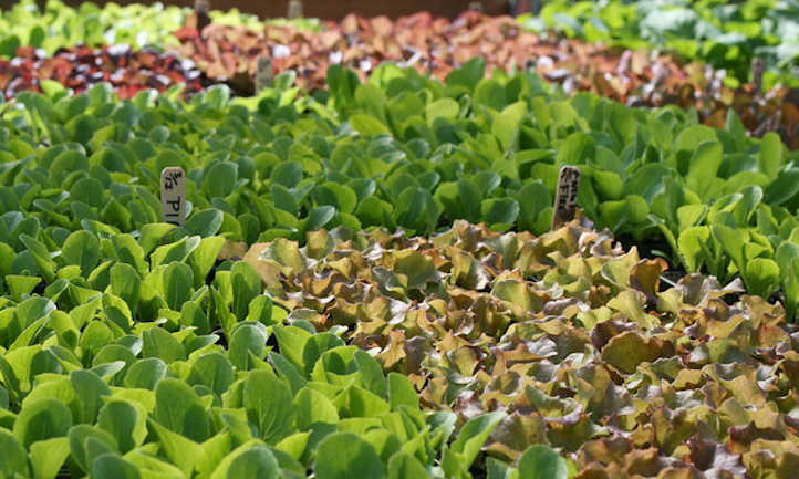Mixed lettuce starts