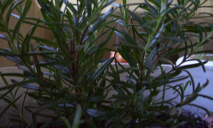 Rosemary foliage