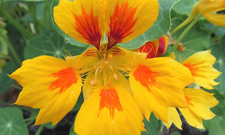 Tropaeolum majus 'Phoenix'