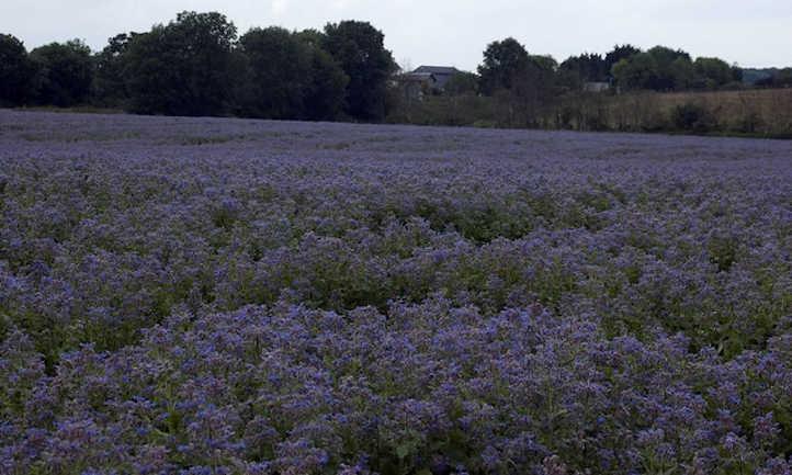 Field of borage