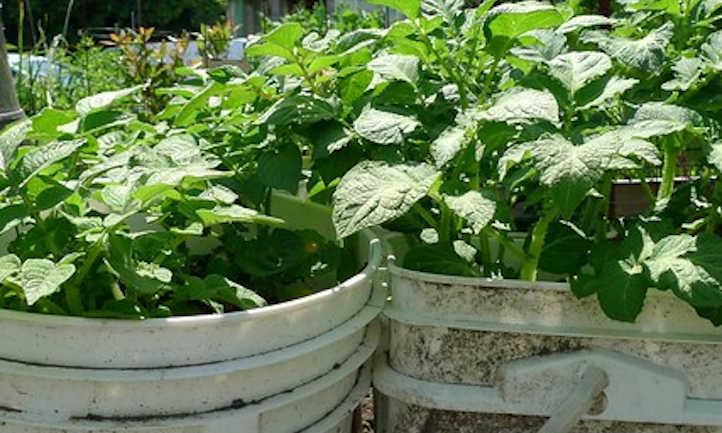 Buckets full of potato plants