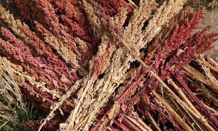 Dried quinoa