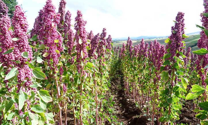 Field of quinoa