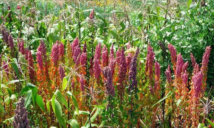 Growing quinoa