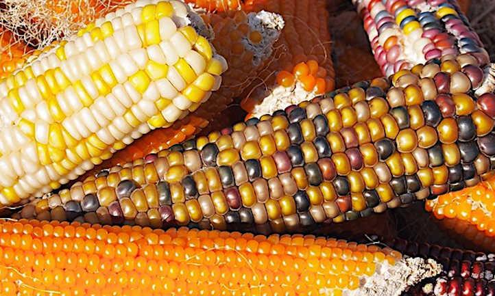Hard corn harvest
