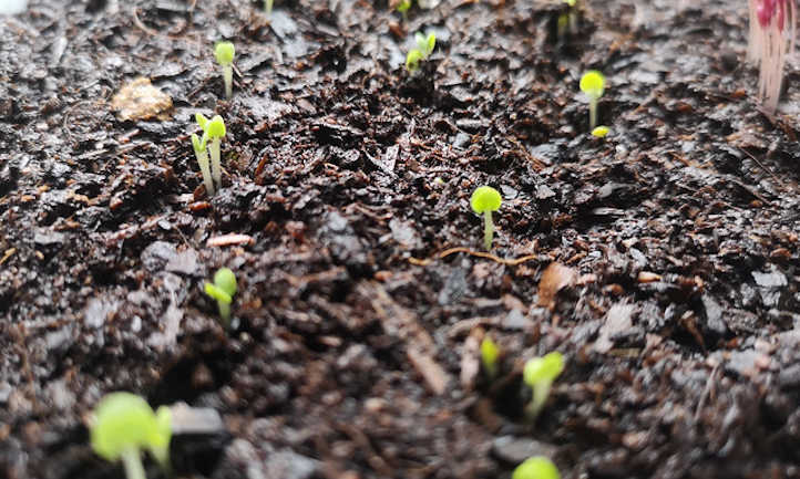 Light is required after germination