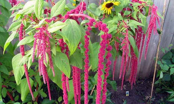 Ornamental amaranth