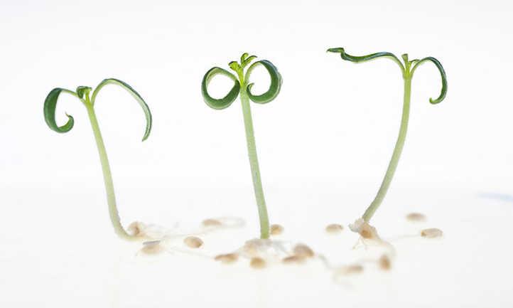 Seedlings post-germination
