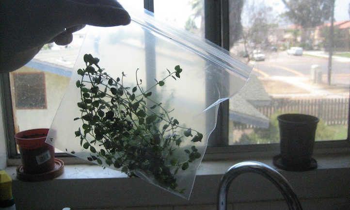 Thyme bagged for freezing