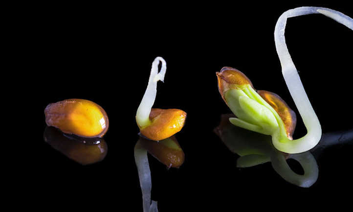 Cress seeds in different stages of germination