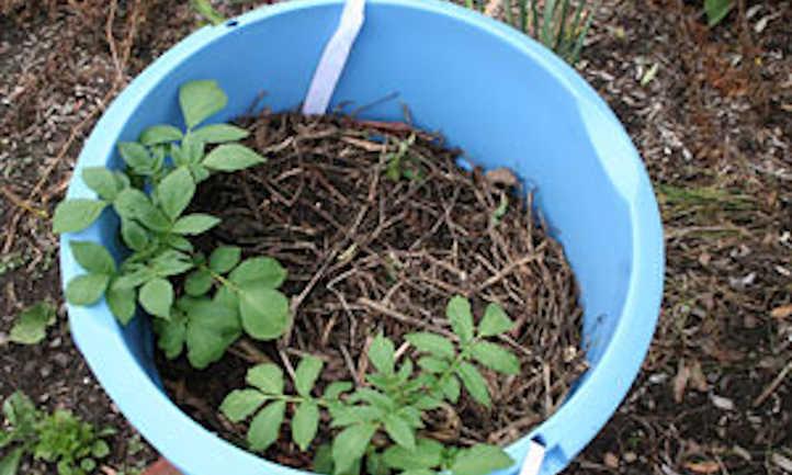 Young potato plant