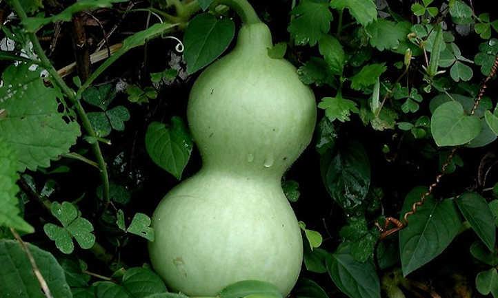 Bottle gourd