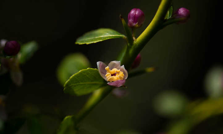 Finger lime flower