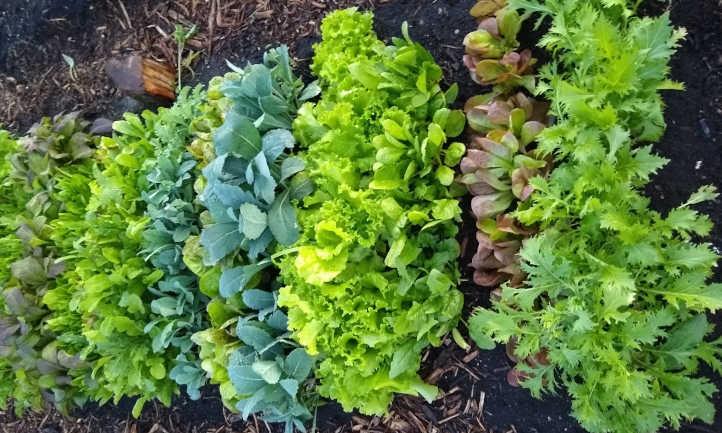High intensive salad bed