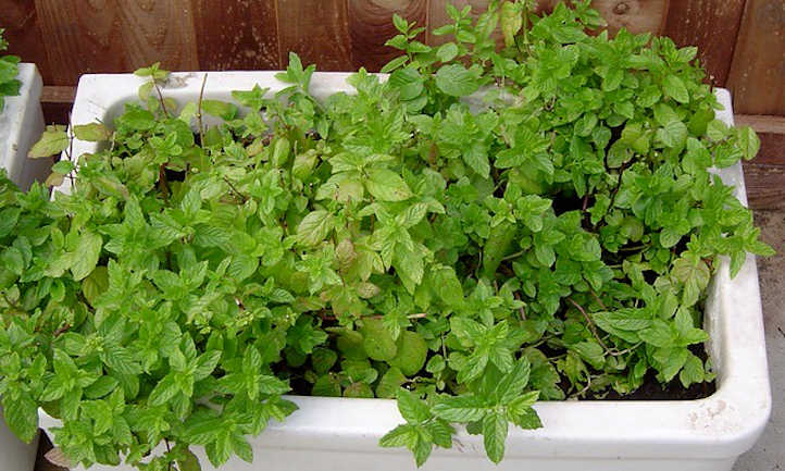 Mint in planter