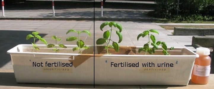 Urine fertilization vs no fertilization
