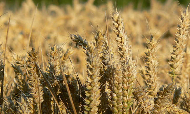 Wheat about ready to harvest