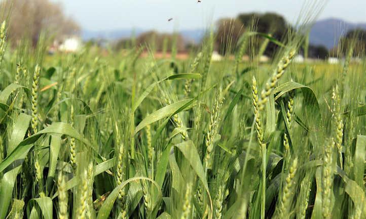 Wheat in mid season