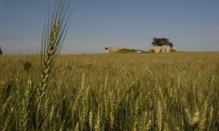 Wheat starting to yellow