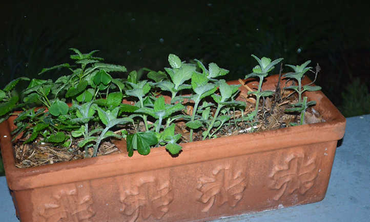 Window planter of mint