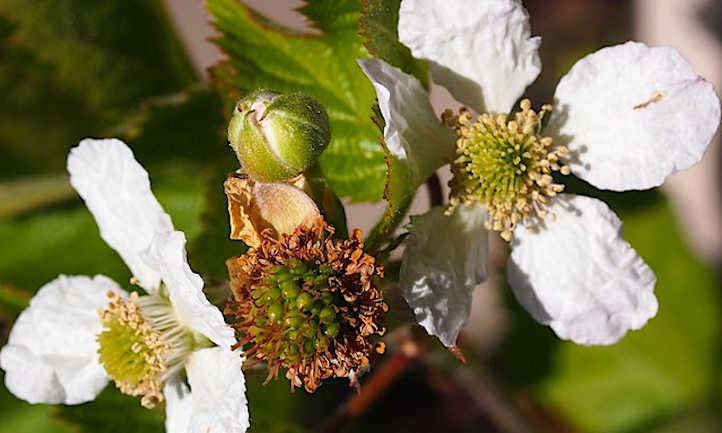 Boysenberry flowers