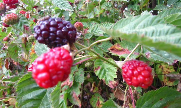 Boysenberry fruit