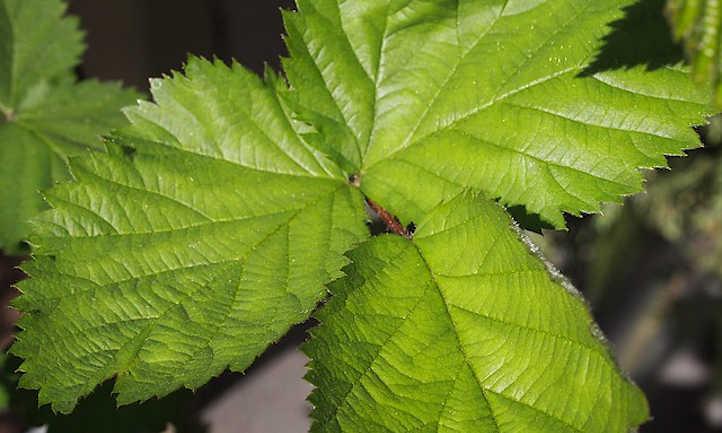 Boysenberry leaves