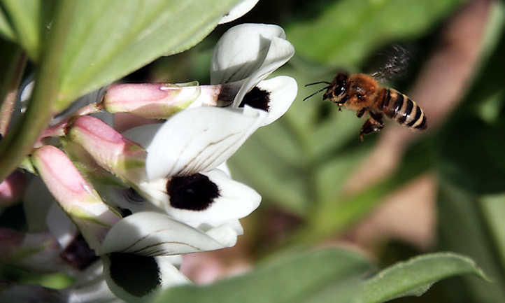 Fava flowers and bee