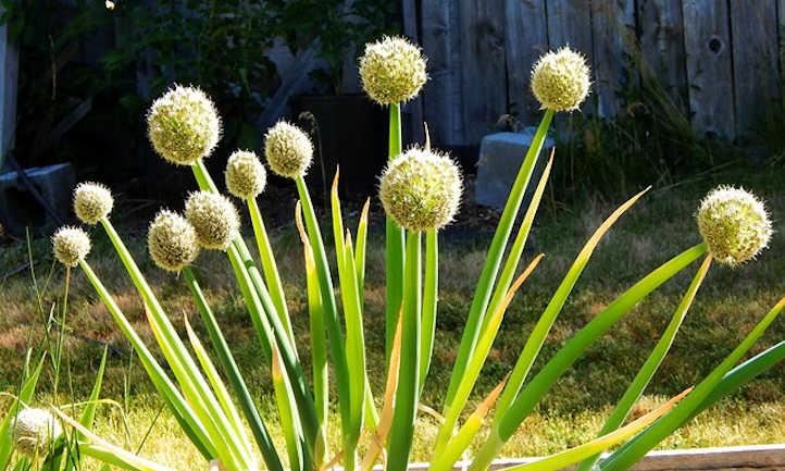 Spring onion flowers