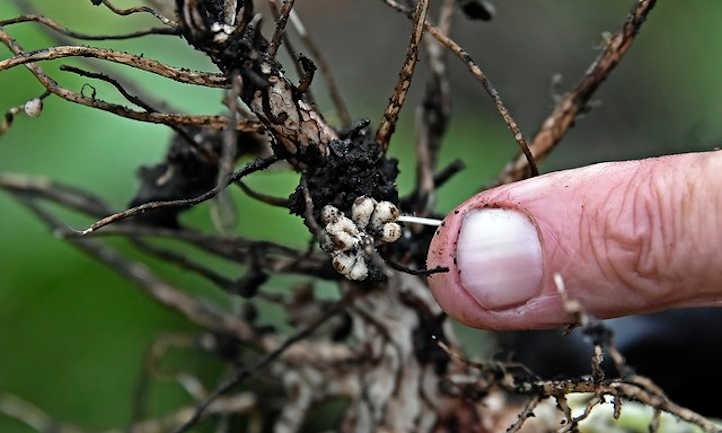Nitrogen fixing nodules on fava bean roots