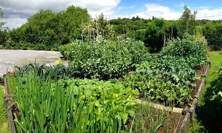 Onion companion plants